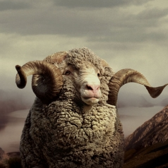 What is Merino Wool?